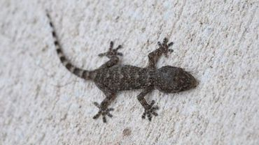 Illustration: un gecko