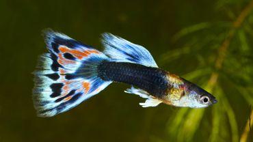 La pollution sonore fragilise la santé des poissons.