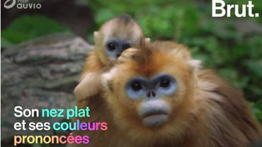 Ce petit singe hors du commun est gravement menacé