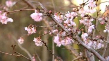 Climat hivernal pas encore là: néfaste pour la flore?