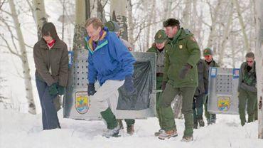 Deux loups vont être réintroduits dans le parc de Yellowstone, le 12 janvier 1995