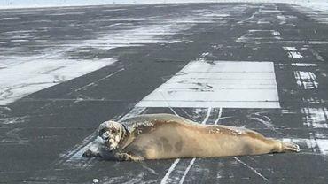 Un phoque perturbe tout un aéroport en Alaska ©Scott Babcock