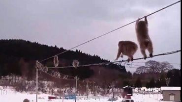 Image tirée d'une vidéo montrant des singes funambules sur une ligne électrique au milieu d'un paysage enneigé à Mutsu, dans le nord du Japon