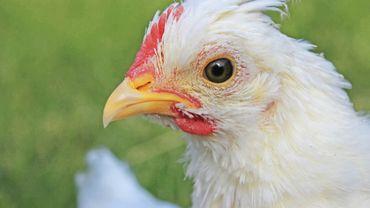 Les poules d'un an et demi pondent encore mais plus assez aux yeux des industriels