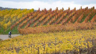 Plus de la moitié des régions viticoles actuelles pourraient disparaître avec un réchauffement de 2 degrés, objectif de l'accord de Paris, et jusqu'à 85% avec un réchauffement de 4 degrés