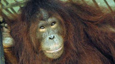 Astrid, une femelle orang-outan photographiée le 15 février 2012, qui a été relâchée sur l'île de Bornéo