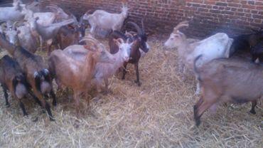 Les chèvres de Buzet