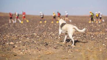Cactus, le chien errant du Marathon des Sables, à la poursuite des participants