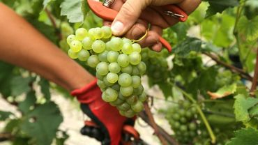 Des raisins dans la vigne de la maison de Champagne Vranken-Pommery, à Reimsn le 30 août 2017