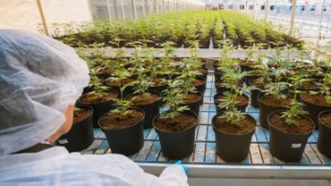 """Alors qu'un nombre croissant de pays légalisent le cannabis médical, les preuves suggérant qu'il peut améliorer l'état des patients souffrant de troubles mentaux sont """"limitées""""."""