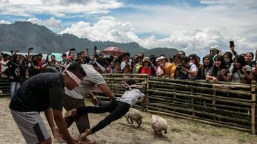 Des Indonésiens participent à un concours visant à attraper des cochons les yeux bandés, à Muara en Indonésie le 25 octobre 2019