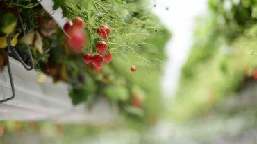 La cueillette des fraises est l'une des premières récoltes à être menacée par le manque de travailleurs saisonniers