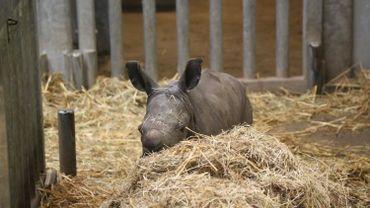 Moment historique : naissance d'un Rhinocéros blanc du Sud à Pairi Daiza