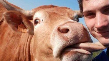 """#jaimemesanimaux: face aux accusations vaches, les agriculteurs passent aux selfies """"bêtes"""""""