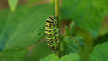 Comment les chenilles se transforment-elles en papillons?