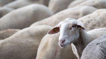 Près de 80 animaux saisis à Pepingen chez des éleveurs récidivistes