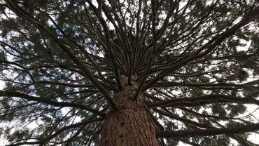 Le majestueux Séquoia qui pousse à côté de la Maison des Mariages sur la Citadelle de Namur