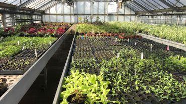 Des milliers de plants sont actuellement mis en pot dans les serres de la section horticole de l'Athénée de Morlanwelz.
