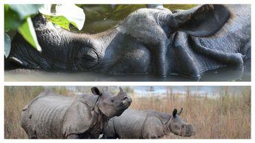 La population de rhinocéros au Népal a augmenté de plus de 100 individus au cours des six dernières années