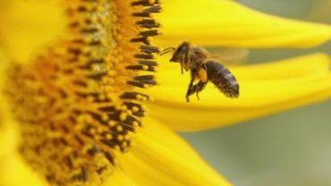 """Un """"robot-abeille"""" pour polliniser les arbres fruitiers"""