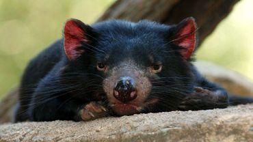 En Australie, les autorités tentent de sauver le diable de Tasmanie de l'extinction