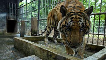 Le monde compte actuellement moins de 4.000 tigres sauvages.