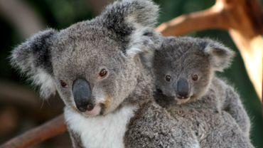 Feux en Australie: pétition pour introduire le koala en Nouvelle-Zélande.