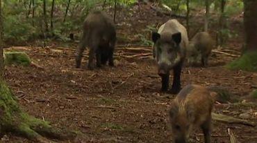 Du neuf pour les exploitants forestiers dans les forêts gaumaises touchées par la peste porcine africaine.