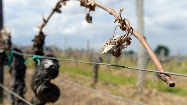 Un vigne endommagée par le gel à Vignonet (sud-ouest) en Gironde, le 3 mai 2017