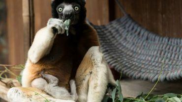 Poppy, la maman d'un propithèque couronné (Propithecus coronatus), de la famille des lémuriens, qui est né mi-février au parc zoologique de Mulhouse, le 5 mars 2019