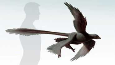 """""""Changyuraptor yangi"""", le nouveau dinosaure à plumes identifié en Chine"""