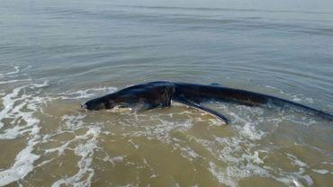 Un requin pèlerin échoué à La Panne