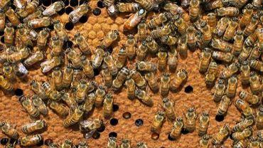 Des abeilles chez un apiculteur en Vendée, le 25 janvier 2008