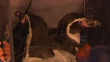 Les pingouins seront mariés plusieurs fois jusqu'au 14 février.