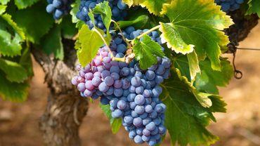 Vins: fraudes dans les vignobles