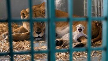 """Une lionne sauvée par une ONG, l'organisation """"Four Paws"""" (Quatre Pattes), et son nouveau-né à l'intérieur d'une cage dans une réserve pour animaux à Amman en Jordanie, le 14 août 2017"""
