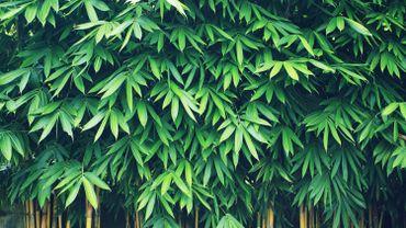 Tout savoir sur les bambous