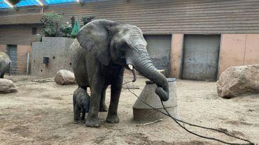 Photo prise le 30 mars et diffusée le 9 avril 2021 par le parc animalier de Boräs de l'éléphante Panzi et son éléphanteau dans leur enclos
