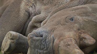 Un rhinocéros tué dans un zoo en France, sa corne sciée et volée