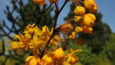 Amour de plante : le berberis julianae