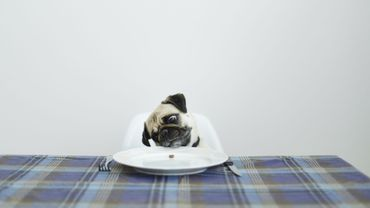 Pug dog sitting at a dinning table
