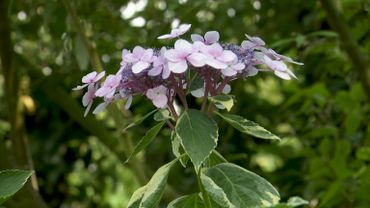 Amour de plante : l'Hydrangea macrophylla 'Quadricolor'