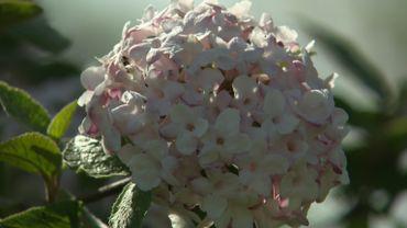 Zoom sur le Viburnum carlesii