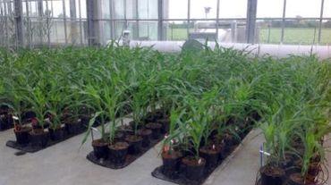 Des plants de maïs génétiquement modifiés