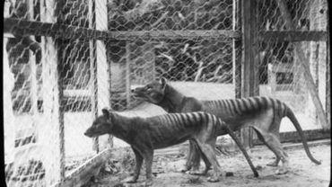 Le tigre de Tasmanie était condamné bien avant que l'être humain ne commence à le chasser.