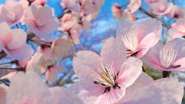 Au Japon, les prédictions de floraison des cerisiers sont prises très au sérieux