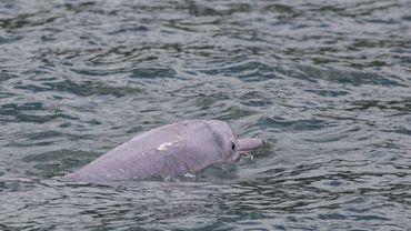 A Hong Kong, les dauphins roses de retour grâce à la baisse du trafic maritime
