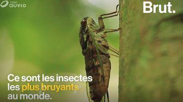 """Insectes les plus bruyants au monde, mais comment les cigales """"chantent-elles"""" ?"""