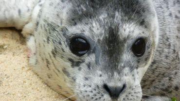 Non, les phoques gris ne sont pas prêts d'attaquer les humains sur les plages (SeaLife)