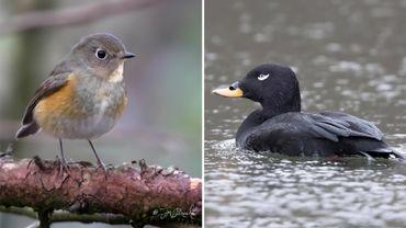 Des oiseaux migrateurs perdus à cause des vents violents